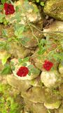 Rock and Roses. Roses on the rock wall Royalty Free Stock Photo
