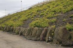 Rock samphire. Growing on north shore, Blackpool, Lancashire, UK Royalty Free Stock Photo