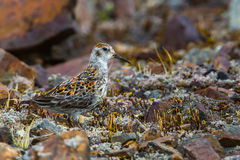 Rock Sandpiper Royalty Free Stock Photo