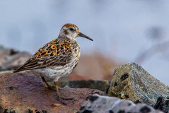 Rock Sandpiper Royalty Free Stock Image