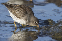 Rock sandpiper that feeds a strip casting winter day Royalty Free Stock Photo