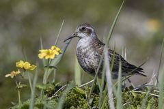 ROCK SANDPIPER standing in blooming tundra sunny Royalty Free Stock Photography