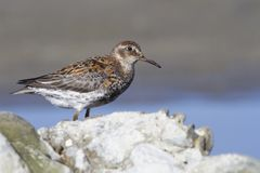 Rock sandpiper standing among the rocks on the seashore on a sum Royalty Free Stock Images