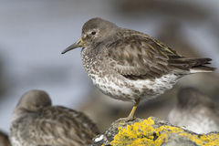 Rock sandpiper which stands on a rock covered Royalty Free Stock Image