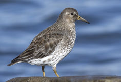 Rock sandpiper which stands on a rock fall day in winter Stock Image