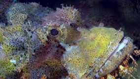 Rock Scorpionfishes barbata fish on Coral reef. Rock Scorpionfishes barbata fish on sandy bottom of a tropical Coral Reef in search of food. Amazing, beautiful stock video