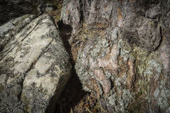 Rock and Scots Pine Bark. Rock and Scots Pine Bark in the Highlands of Scotland Stock Photos