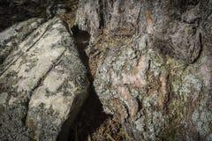 Rock and Scots Pine Bark. Stock Photos