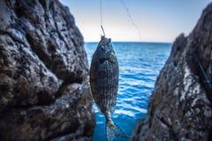 Rock sea fishing sargus  Mediterranean Stock Photography