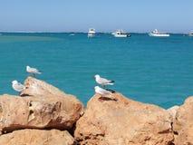 rock seagulls Arkivfoto
