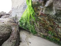 Rock seaweed Royalty Free Stock Photo