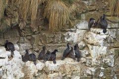 Rock Shag nesting on a cliff - Falkland Islands Royalty Free Stock Image