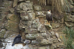 Rock Shag nesting on a cliff - Falkland Islands Royalty Free Stock Images