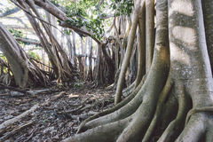 Rock Sound Banyan Tree and Roots Stock Photography