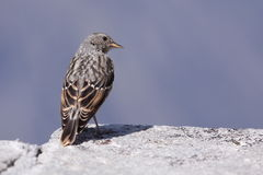 Rock sparrow. The rock sparrow sitting on the wall stock image