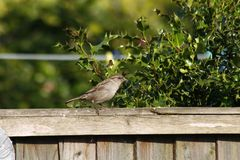 Rock sparrow. On garden fence with holly in background Stock Image