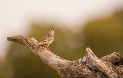 Rock Sparrow on Olive tree branch Stock Photo