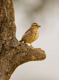 Rock Sparrow on Olive-tree Stock Images