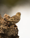 Rock Sparrow on olive trunk Stock Images