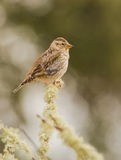 Rock Sparrow perching on branch Royalty Free Stock Image