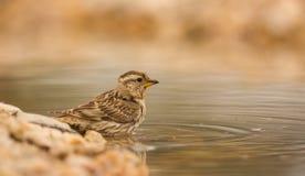 Rock Sparrow Royalty Free Stock Photos