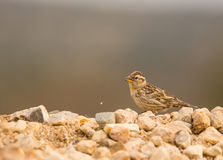 Rock Sparrow Stock Images