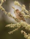 Rock Sparrow Stock Photography