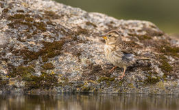 Rock Sparrow at a pool Stock Photo