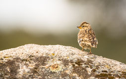 Rock Sparrow sitting on rock Stock Photo
