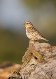 Rock Sparrow on a trunk Stock Photography