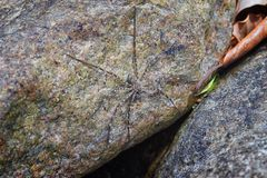Rock Spider poised and hunting prey camouflaged on rock by river, in El Eden, Puerto Vallarta Jungle in Macro, detailed view in Me royalty free stock image