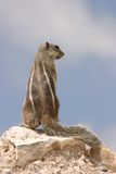Rock Squirrel Royalty Free Stock Photos