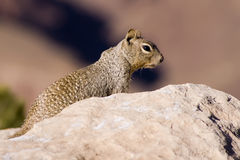 Rock Squirrel Stock Photo