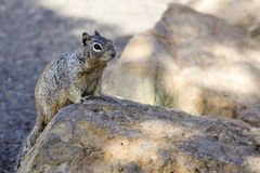 Rock squirrel, az Stock Photography