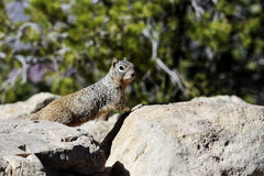Rock squirrel, az Stock Images
