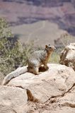Rock Squirrel on Bright Angel Trail at Grand Canyon National Park Arizona. This is the trail they take the mules down to the bottom. Squirrel bites are the Stock Photos