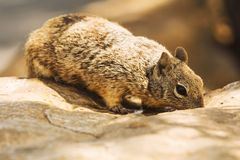 Rock squirrel Royalty Free Stock Images