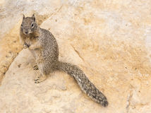 Rock Squirrel Stock Images