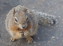 Rock Squirrel Looks Up expectantly Stock Image