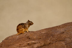 Rock Squirrel, Otospermophilus variegatus. Rock Squirrel in Capitol Reef National Park in Utah Royalty Free Stock Photos