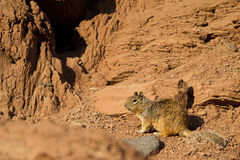 Rock Squirrel, Otospermophilus variegatus Royalty Free Stock Photo