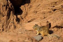 Rock Squirrel, Otospermophilus variegatus. Rock Squirrel in Capitol Reef National Park in Utah Royalty Free Stock Photo
