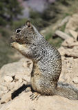 Rock Squirrel Perched on a Rock Stock Image