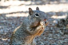 Rock squirrel sitting on hind legs, eating plant. Desert land in background. Closeup of rock squirrel otospermophilus variegatus sitting on hind legs, eating royalty free stock photo