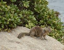Rock squirrel Royalty Free Stock Photos