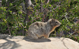 Rock Squirrel. Sitting on a wall at the Grand Canyon Royalty Free Stock Photos