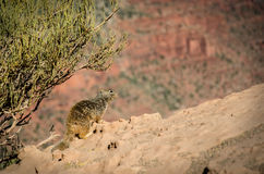 Rock Squirrel South Kaibab Trail Grand Canyon Stock Images
