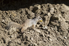 Rock Squirrel, Spermophilus variegatus. Rock Squirrel in New Mexico's Sugarite Canyon State Park Royalty Free Stock Images