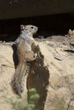 Rock Squirrel, Spermophilus variegatus. Rock Ground Squirrel in New Mexico's Sugarite Canyon State Park Royalty Free Stock Photo