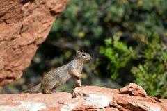 Rock Squirrel, Spermophilus variegatus Royalty Free Stock Photos
